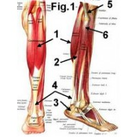 Calf muscles in rowing